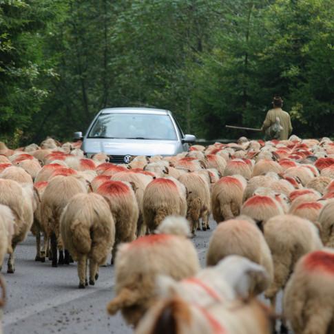 Sheep of the Highway, Transfagarasan, Romania